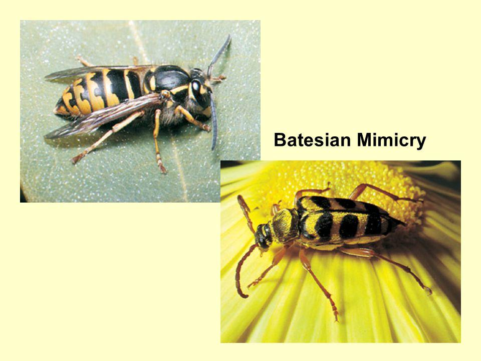 28 Batesian Mimicry