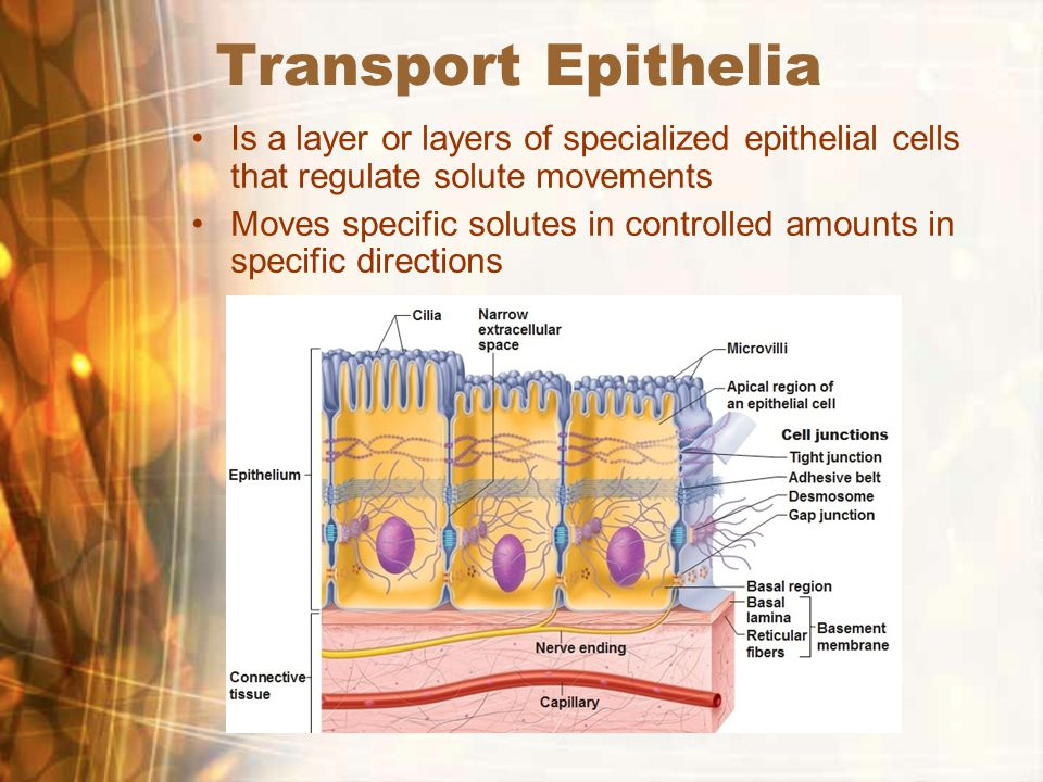 Transport Epithelia Is a layer or layers of specialized epithelial cells that regulate solute movements Moves specific solutes in controlled amounts in specific directions