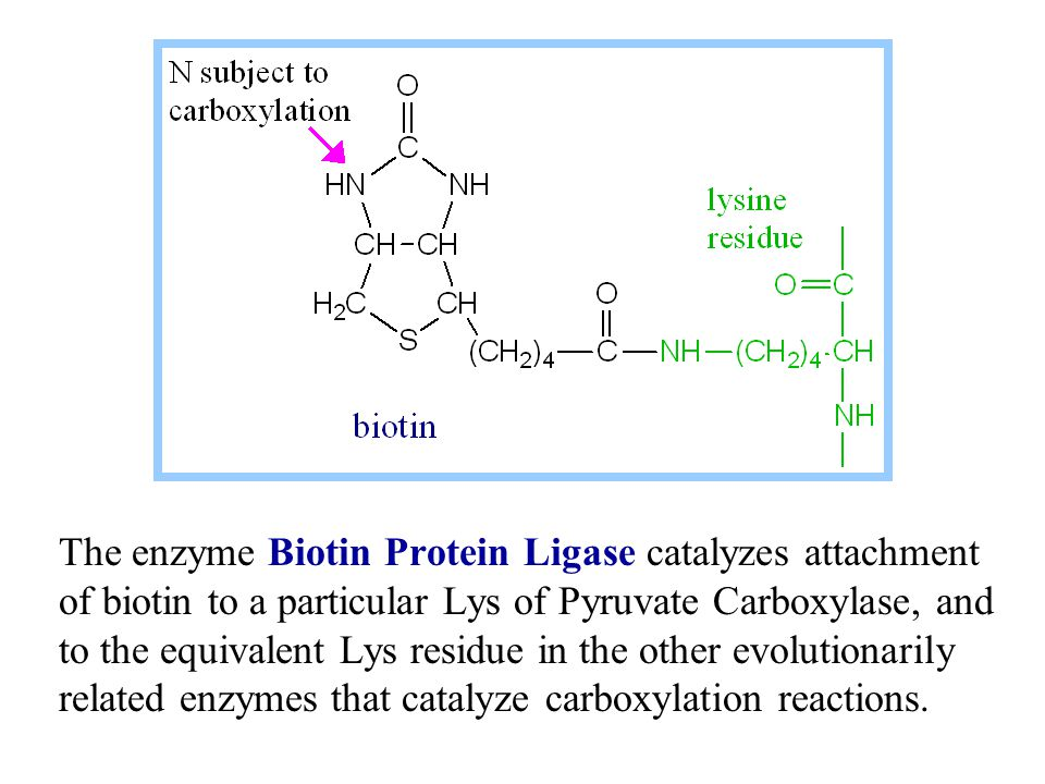 The enzyme Biotin Protein Ligase catalyzes attachment of biotin to a particular Lys of Pyruvate Carboxylase, and to the equivalent Lys residue in the other evolutionarily related enzymes that catalyze carboxylation reactions.