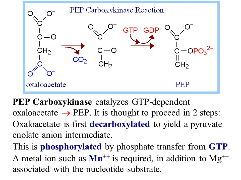 PEP Carboxykinase catalyzes GTP-dependent oxaloacetate  PEP. It is thought to proceed in 2 steps: Oxaloacetate is first decarboxylated to yield a pyr