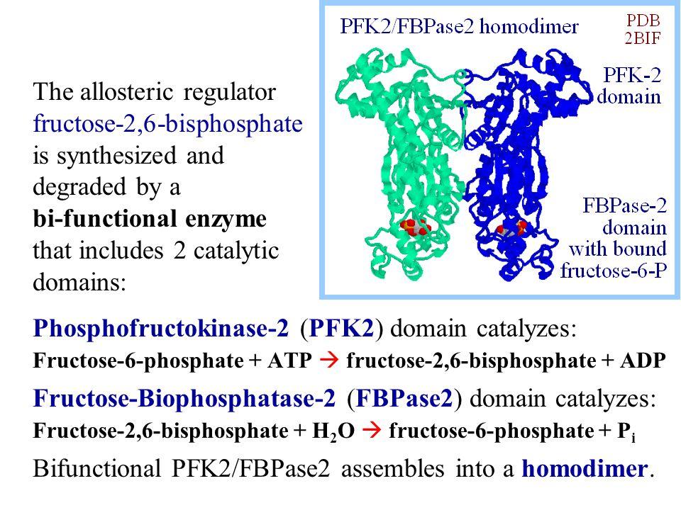 Phosphofructokinase-2 (PFK2) domain catalyzes: Fructose-6-phosphate + ATP  fructose-2,6-bisphosphate + ADP Fructose-Biophosphatase-2 (FBPase2) domain catalyzes: Fructose-2,6-bisphosphate + H 2 O  fructose-6-phosphate + P i Bifunctional PFK2/FBPase2 assembles into a homodimer.