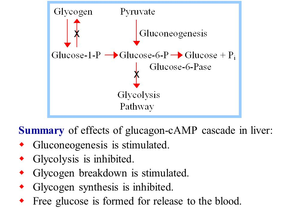 Summary of effects of glucagon-cAMP cascade in liver:  Gluconeogenesis is stimulated.