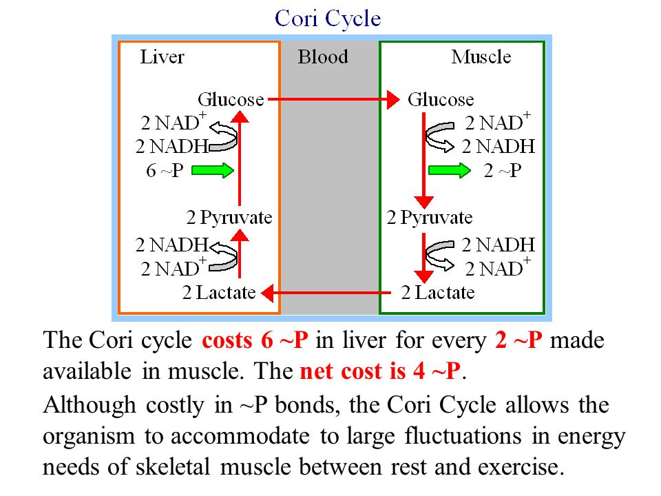 The Cori cycle costs 6 ~P in liver for every 2 ~P made available in muscle.