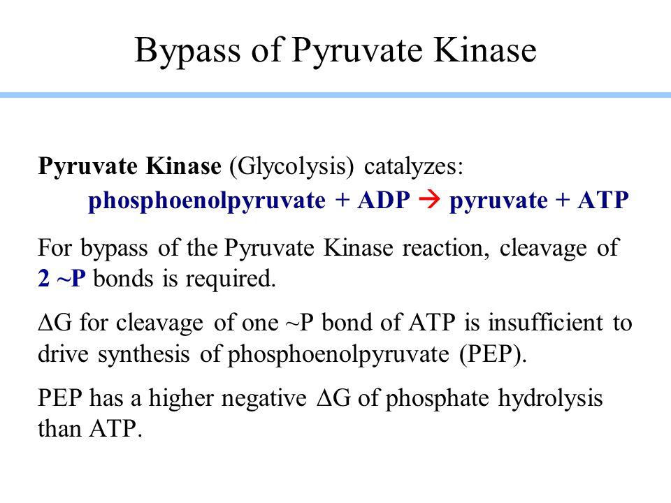 Bypass of Pyruvate Kinase (2 reactions): Pyruvate Carboxylase (Gluconeogenesis) catalyzes: pyruvate + HCO 3  + ATP  oxaloacetate + ADP + P i PEP Carboxykinase (Gluconeogenesis) catalyzes: oxaloacetate + GTP  PEP + GDP + CO 2