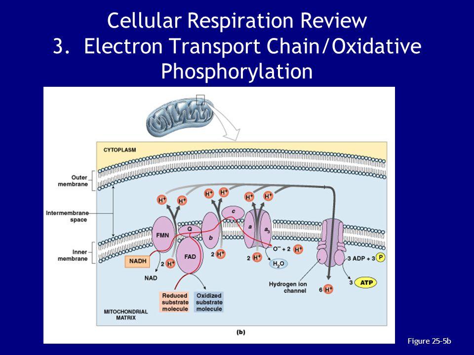 Cellular Respiration Review 3. Electron Transport Chain/Oxidative Phosphorylation Figure 25–5b