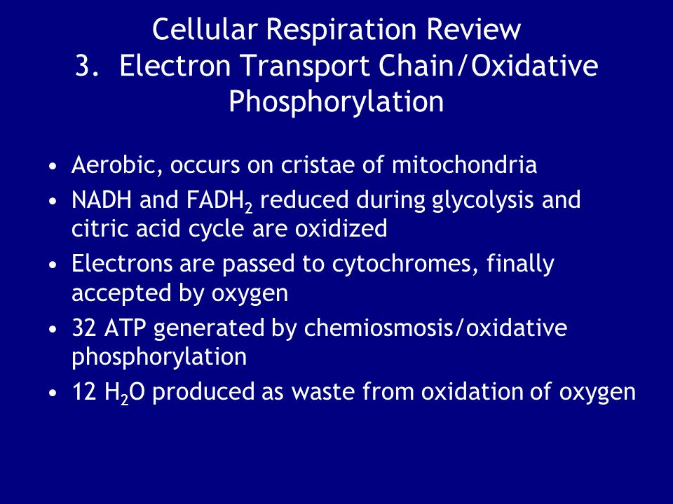 Cellular Respiration Review 3. Electron Transport Chain/Oxidative Phosphorylation Aerobic, occurs on cristae of mitochondria NADH and FADH 2 reduced d