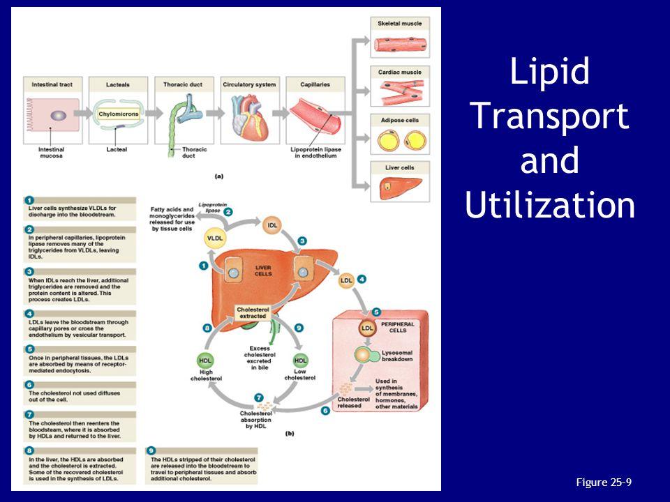 Lipid Transport and Utilization Figure 25–9