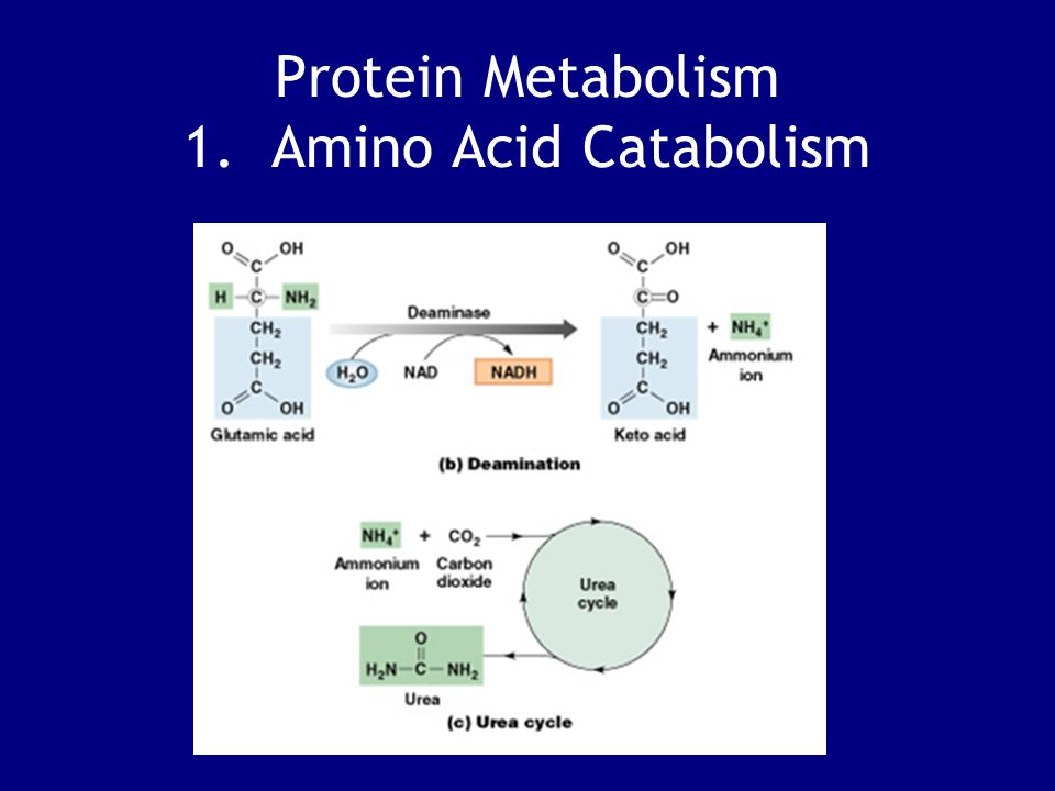 Protein Metabolism 1. Amino Acid Catabolism