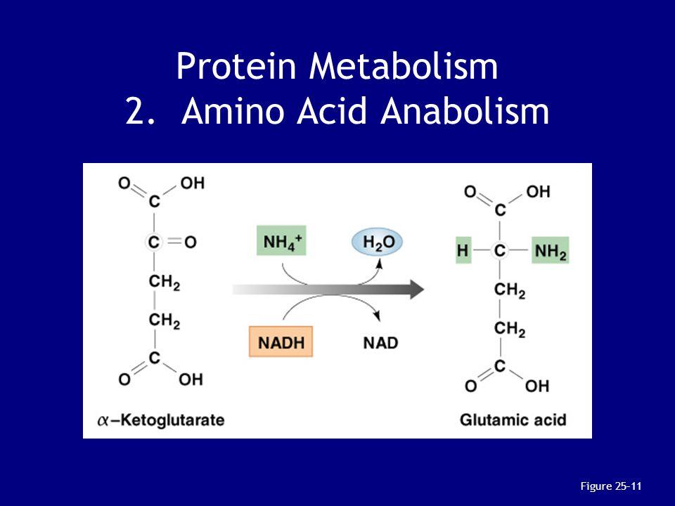 Protein Metabolism 2. Amino Acid Anabolism Figure 25–11