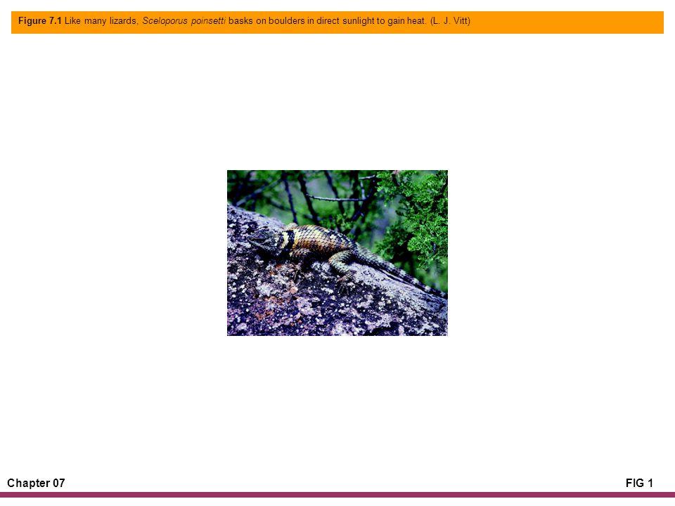 Chapter 07FIG 1 Figure 7.1 Like many lizards, Sceloporus poinsetti basks on boulders in direct sunlight to gain heat. (L. J. Vitt)