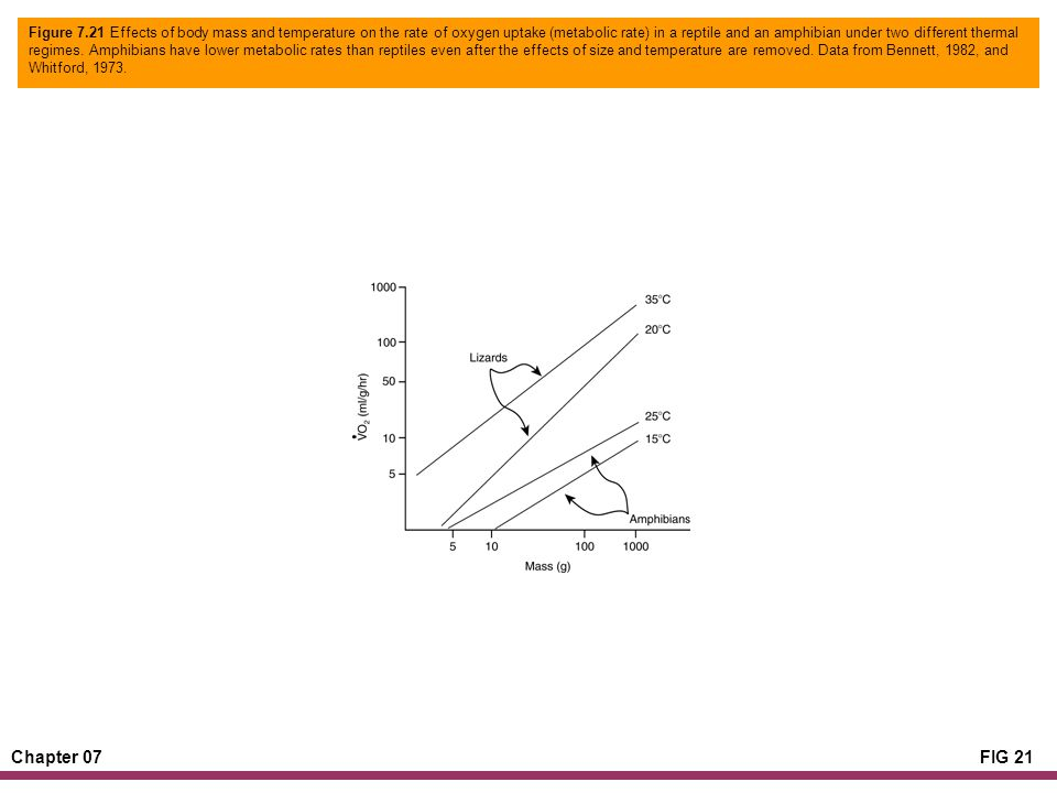 Chapter 07FIG 21 Figure 7.21 Effects of body mass and temperature on the rate of oxygen uptake (metabolic rate) in a reptile and an amphibian under two different thermal regimes.