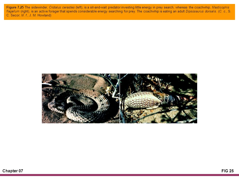 Chapter 07FIG 25 Figure 7.25 The sidewinder, Crotalus cerastes (left), is a sit-and-wait predator investing little energy in prey search, whereas the coachwhip, Masticophis flagellum (right), is an active forager that spends considerable energy searching for prey.