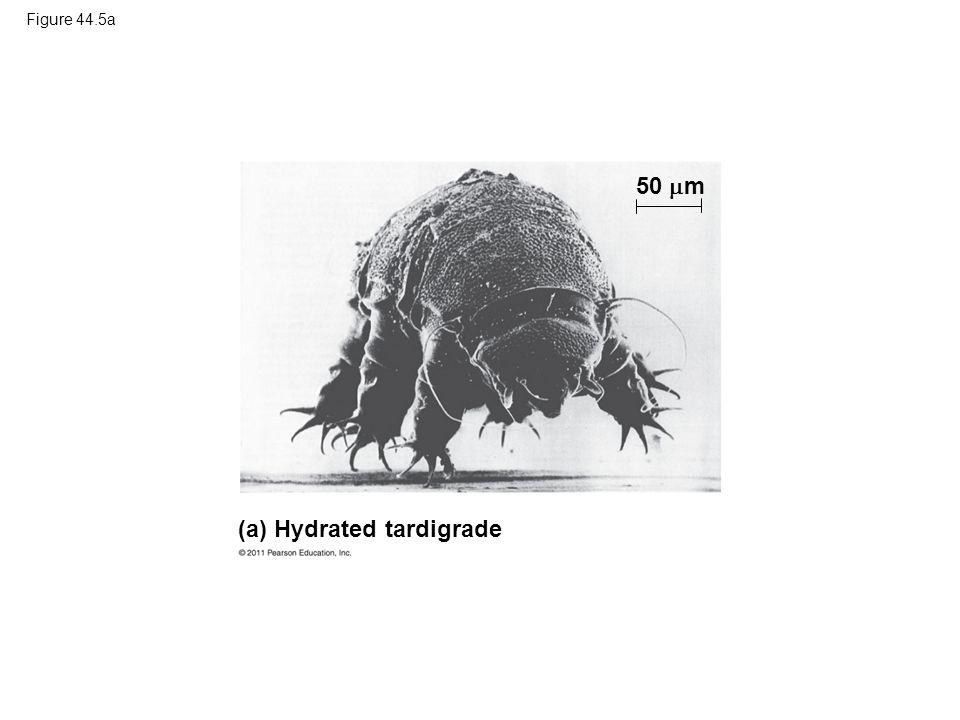 Figure 44.5a (a) Hydrated tardigrade 50  m