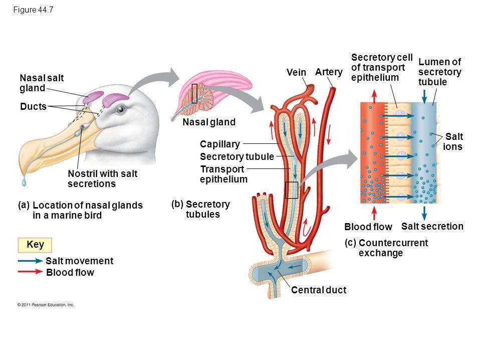 Figure 44.7 Nasal salt gland Ducts Nostril with salt secretions (a) Location of nasal glands in a marine bird (b) Secretory tubules (c) Countercurrent