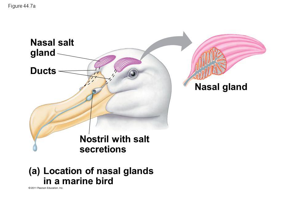 Figure 44.7a Nasal salt gland Ducts Nostril with salt secretions (a) Location of nasal glands in a marine bird Nasal gland