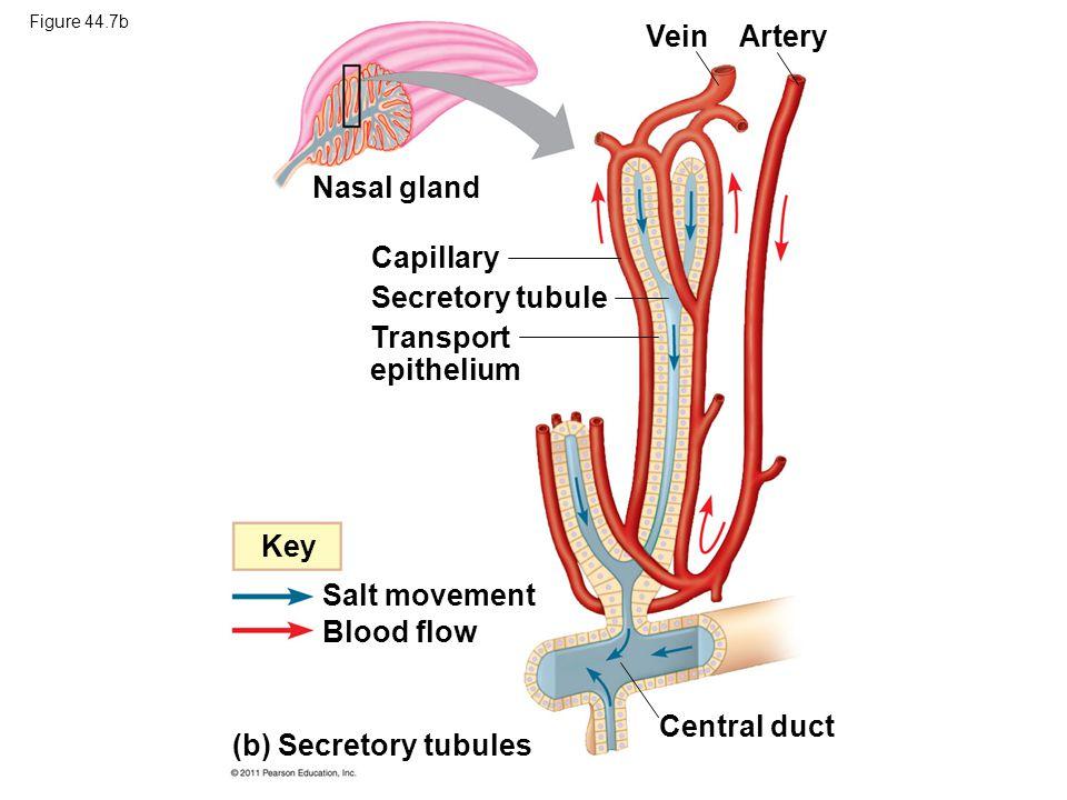 Figure 44.7b (b) Secretory tubules Capillary Secretory tubule Transport epithelium Vein Artery Central duct Nasal gland Key Salt movement Blood flow