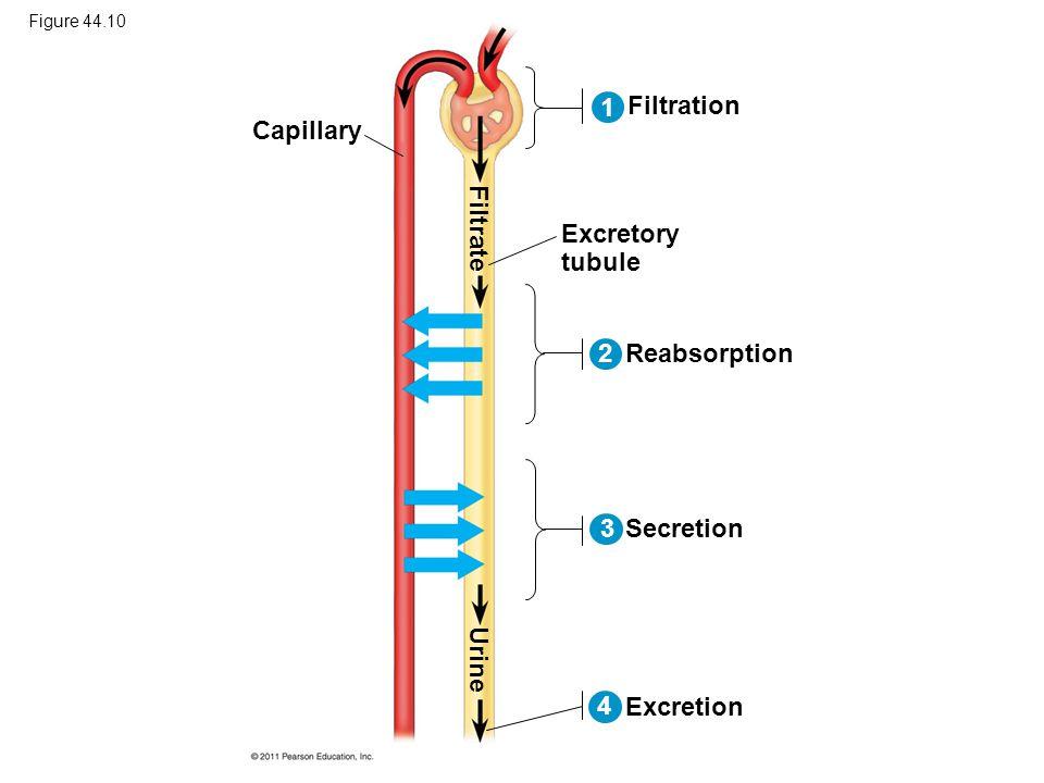 Figure 44.10 Capillary Filtration Excretory tubule Reabsorption Secretion Excretion Filtrate Urine 2 13 4