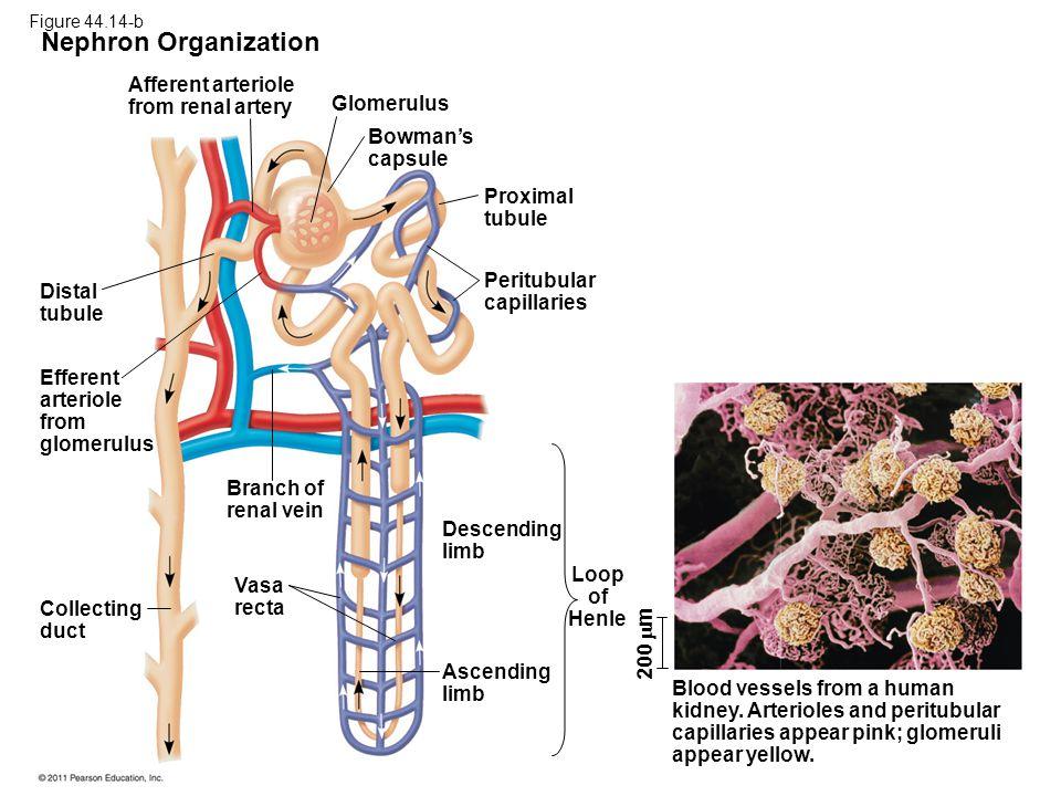 Nephron Organization Afferent arteriole from renal artery Glomerulus Bowman's capsule Proximal tubule Peritubular capillaries Distal tubule Efferent a