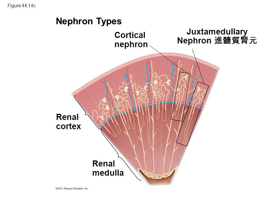 Figure 44.14c Nephron Types Cortical nephron Juxtamedullary Nephron 進髓質腎元 Renal cortex Renal medulla