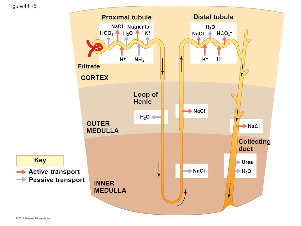 Proximal tubule Distal tubule Filtrate CORTEX Loop of Henle OUTER MEDULLA INNER MEDULLA Key Active transport Passive transport Collecting duct Nutrien