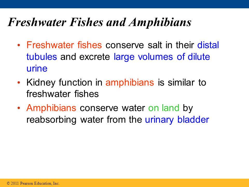 Freshwater Fishes and Amphibians Freshwater fishes conserve salt in their distal tubules and excrete large volumes of dilute urine Kidney function in