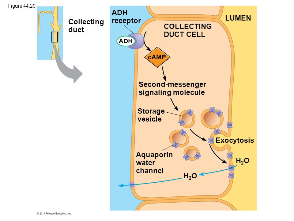 Collecting duct ADH receptor COLLECTING DUCT CELL LUMEN Second-messenger signaling molecule Storage vesicle Aquaporin water channel Exocytosis H2OH2O