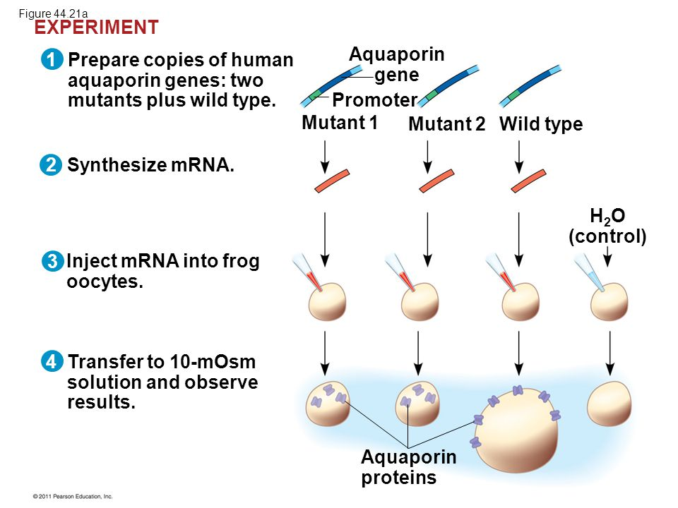 Prepare copies of human aquaporin genes: two mutants plus wild type. Synthesize mRNA. Inject mRNA into frog oocytes. Transfer to 10-mOsm solution and