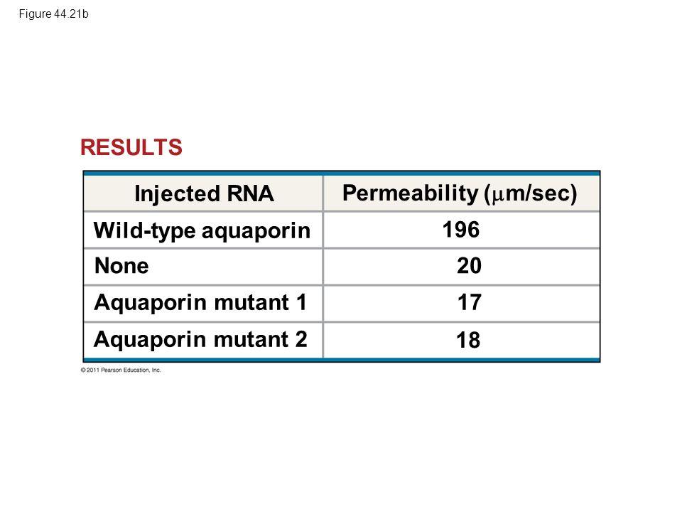 Figure 44.21b RESULTS Injected RNA Permeability (  m/sec) 196 20 17 18 Wild-type aquaporin None Aquaporin mutant 1 Aquaporin mutant 2