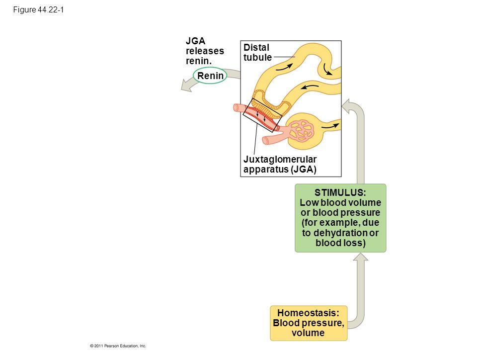 Figure 44.22-1 JGA releases renin. Renin Distal tubule Juxtaglomerular apparatus (JGA) STIMULUS: Low blood volume or blood pressure (for example, due
