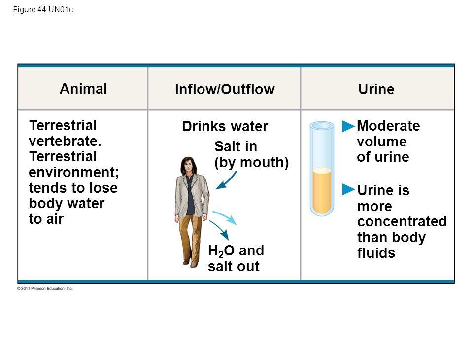 Figure 44.UN01c Animal Inflow/Outflow Urine Terrestrial vertebrate. Terrestrial environment; tends to lose body water to air Drinks water Salt in (by