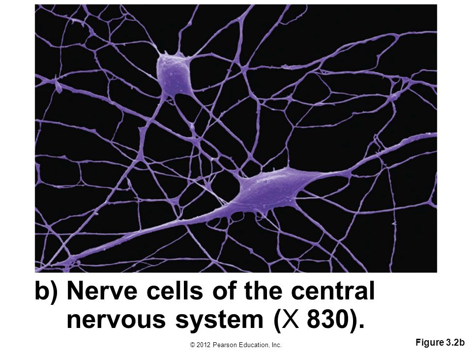 © 2012 Pearson Education, Inc. Figure 3.2b b) Nerve cells of the central nervous system (X 830).