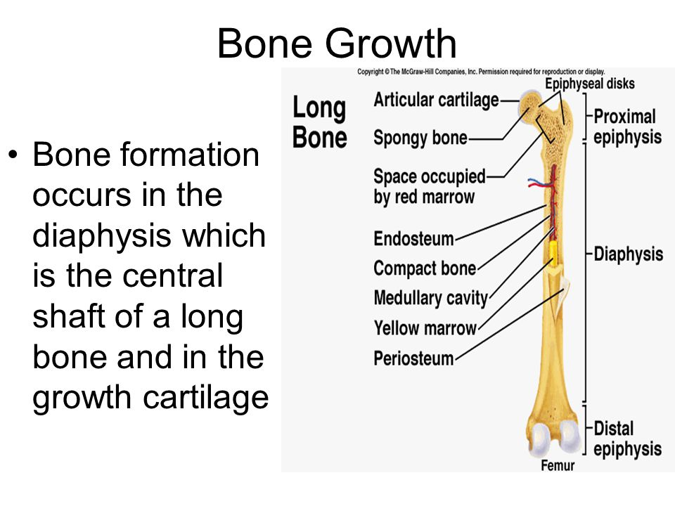 Bone Growth Bone formation occurs in the diaphysis which is the central shaft of a long bone and in the growth cartilage