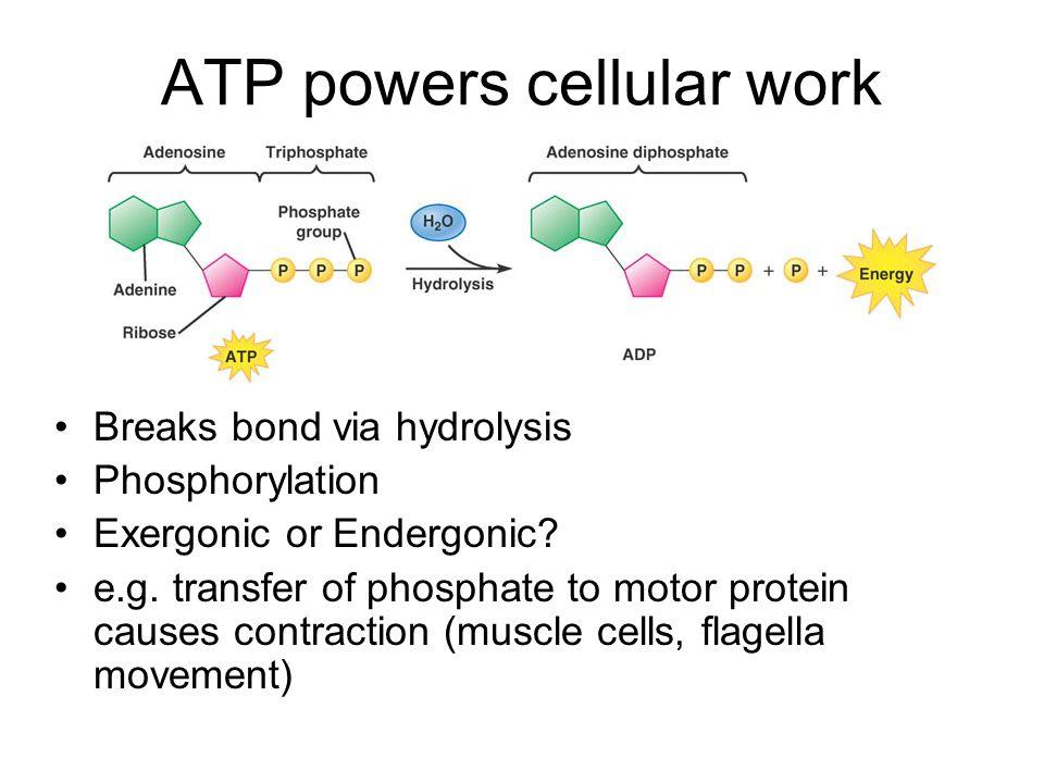 ATP powers cellular work Breaks bond via hydrolysis Phosphorylation Exergonic or Endergonic.