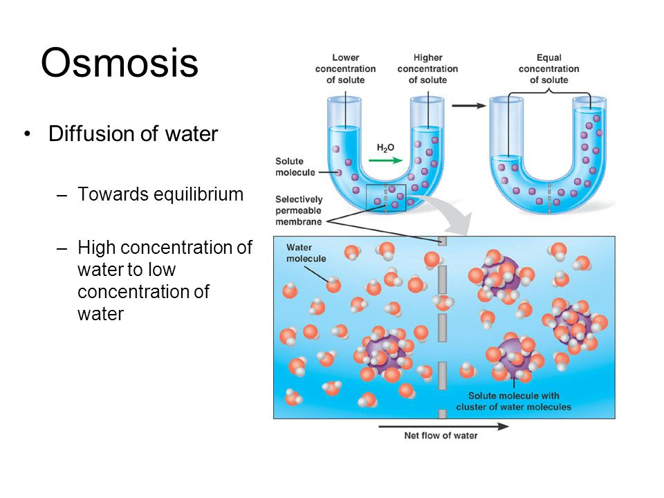 Osmosis Diffusion of water –Towards equilibrium –High concentration of water to low concentration of water