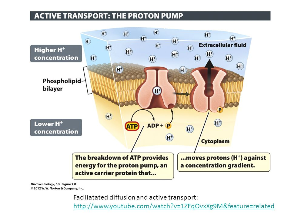 Faciliatated diffusion and active transport: http://www.youtube.com/watch?v=1ZFqOvxXg9M&feature=related http://www.youtube.com/watch?v=1ZFqOvxXg9M&fea