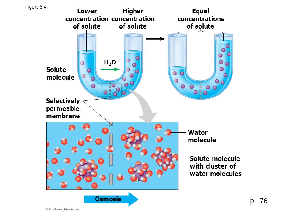 Figure 5.4 Osmosis Solute molecule with cluster of water molecules Water molecule Selectively permeable membrane Solute molecule H2OH2O Lower concentr