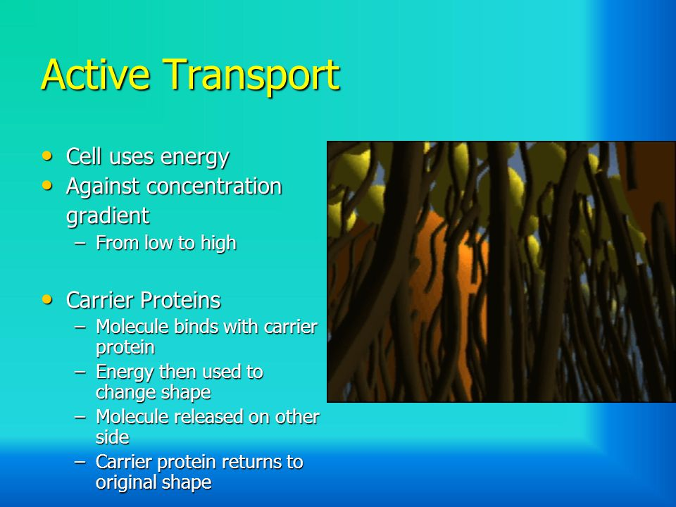 Active Transport Cell uses energy Cell uses energy Against concentration Against concentrationgradient –From low to high Carrier Proteins Carrier Proteins –Molecule binds with carrier protein –Energy then used to change shape –Molecule released on other side –Carrier protein returns to original shape
