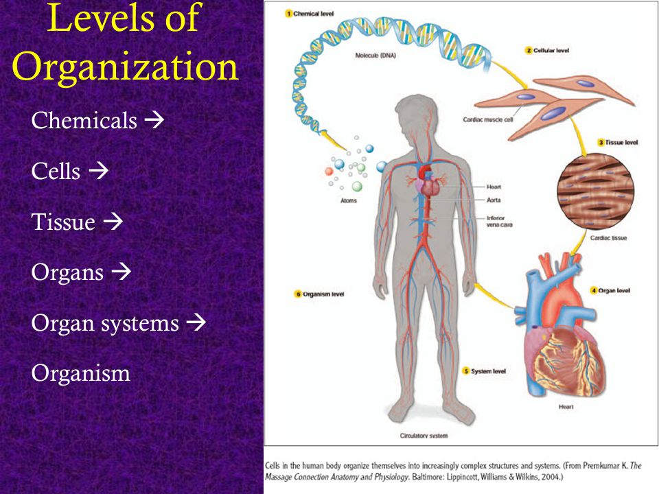 Levels of Organization Chemicals  Cells  Tissue  Organs  Organ systems  Organism