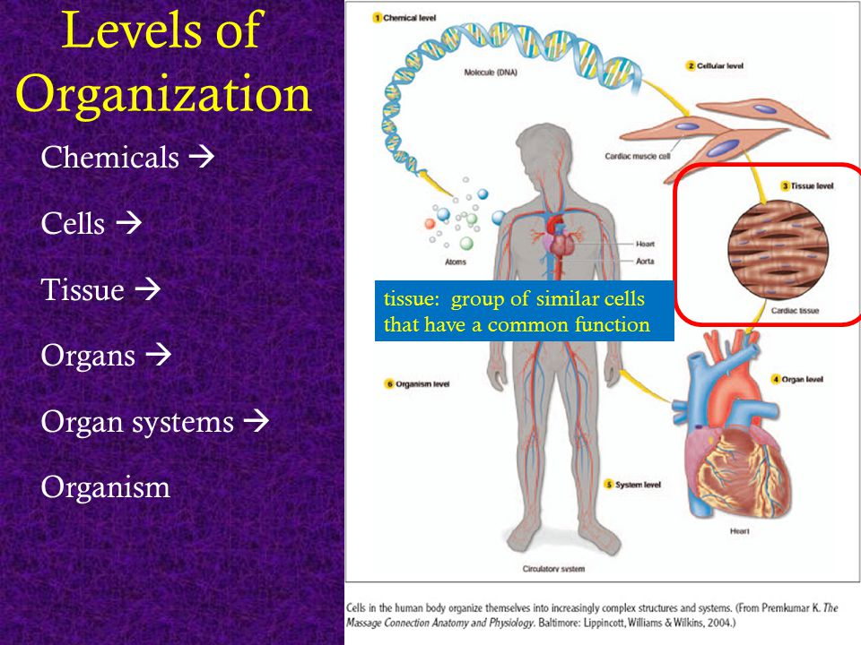 Levels of Organization Chemicals  Cells  Tissue  Organs  Organ systems  Organism tissue: group of similar cells that have a common function