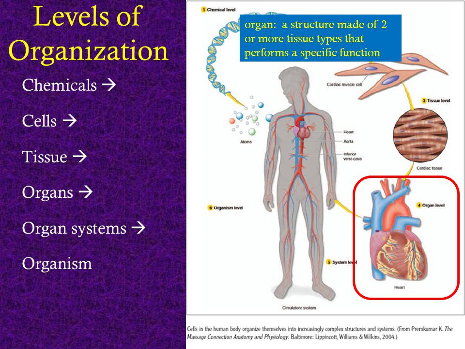Levels of Organization Chemicals  Cells  Tissue  Organs  Organ systems  Organism organ: a structure made of 2 or more tissue types that performs