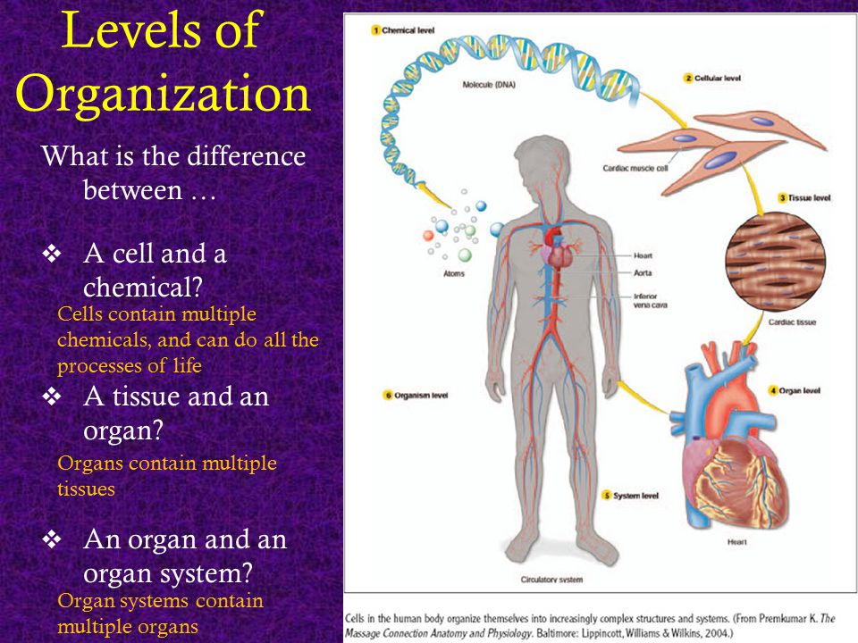 Levels of Organization What is the difference between …  A cell and a chemical?  A tissue and an organ?  An organ and an organ system? Cells contai