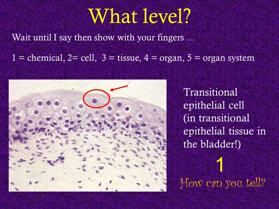 What level? Wait until I say then show with your fingers … 1 = chemical, 2= cell, 3 = tissue, 4 = organ, 5 = organ system How can you tell? Transition