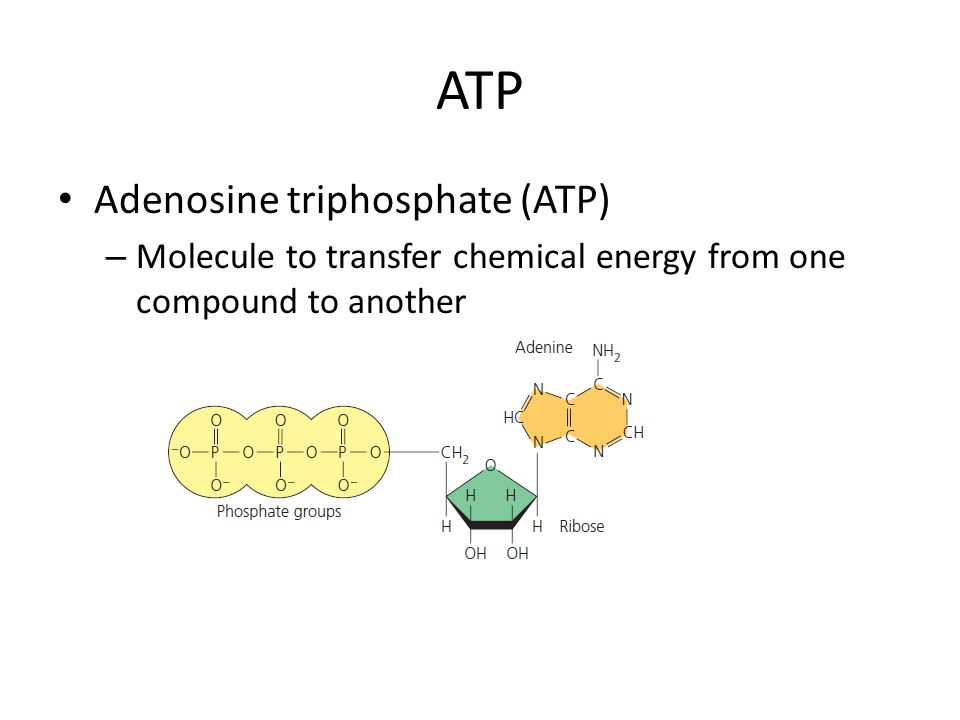 ATP Adenosine triphosphate (ATP) – Molecule to transfer chemical energy from one compound to another