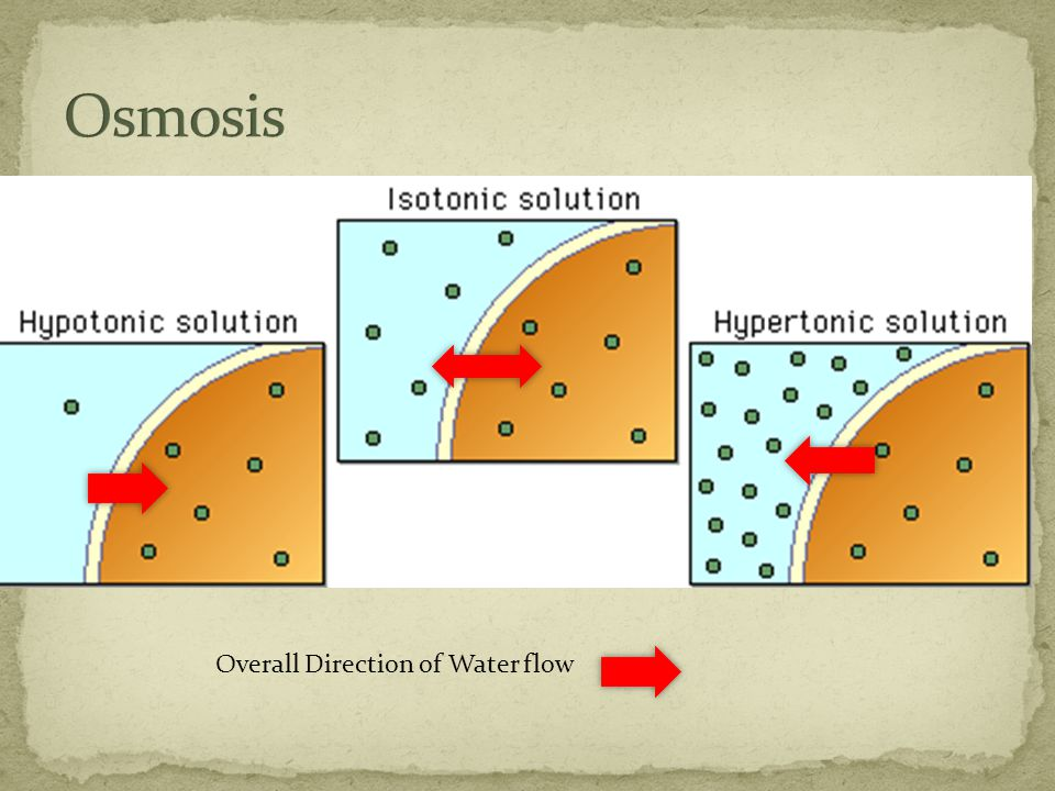 When solutions on both sides of the cell membrane do not have equal concentration they are described as hypotonic or hypertonic.
