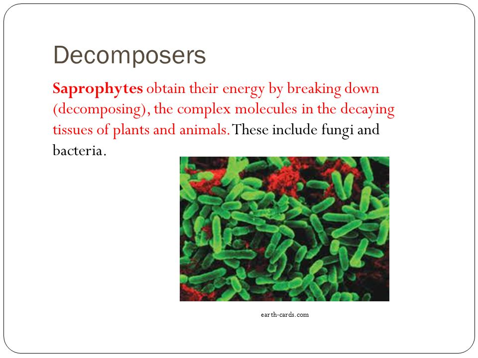 Decomposers Saprophytes obtain their energy by breaking down (decomposing), the complex molecules in the decaying tissues of plants and animals.