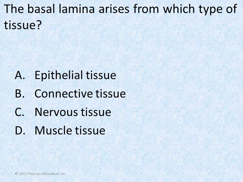 © 2013 Pearson Education, Inc. The basal lamina arises from which type of tissue? A.Epithelial tissue B.Connective tissue C.Nervous tissue D.Muscle ti