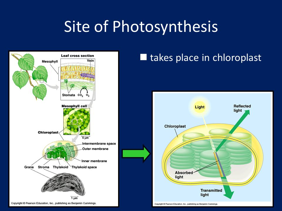 Site of Photosynthesis takes place in chloroplast