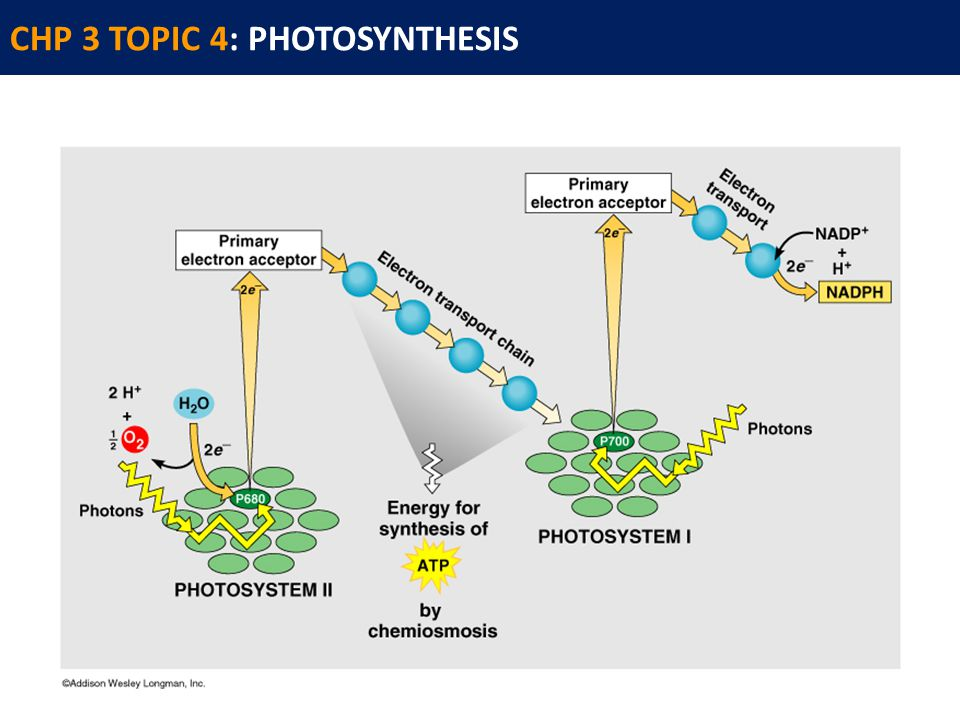 CHP 3 TOPIC 4: PHOTOSYNTHESIS