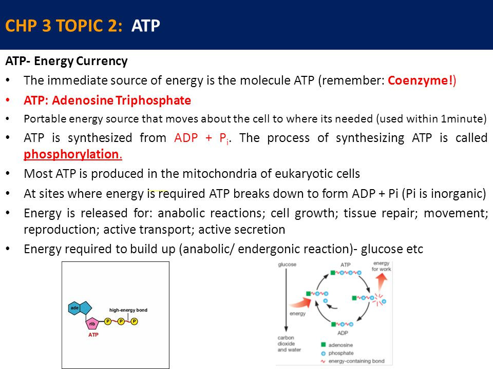 CHP 3 TOPIC 2: ATP ATP- Energy Currency The immediate source of energy is the molecule ATP (remember: Coenzyme!) ATP: Adenosine Triphosphate Portable energy source that moves about the cell to where its needed (used within 1minute) ATP is synthesized from ADP + P i.