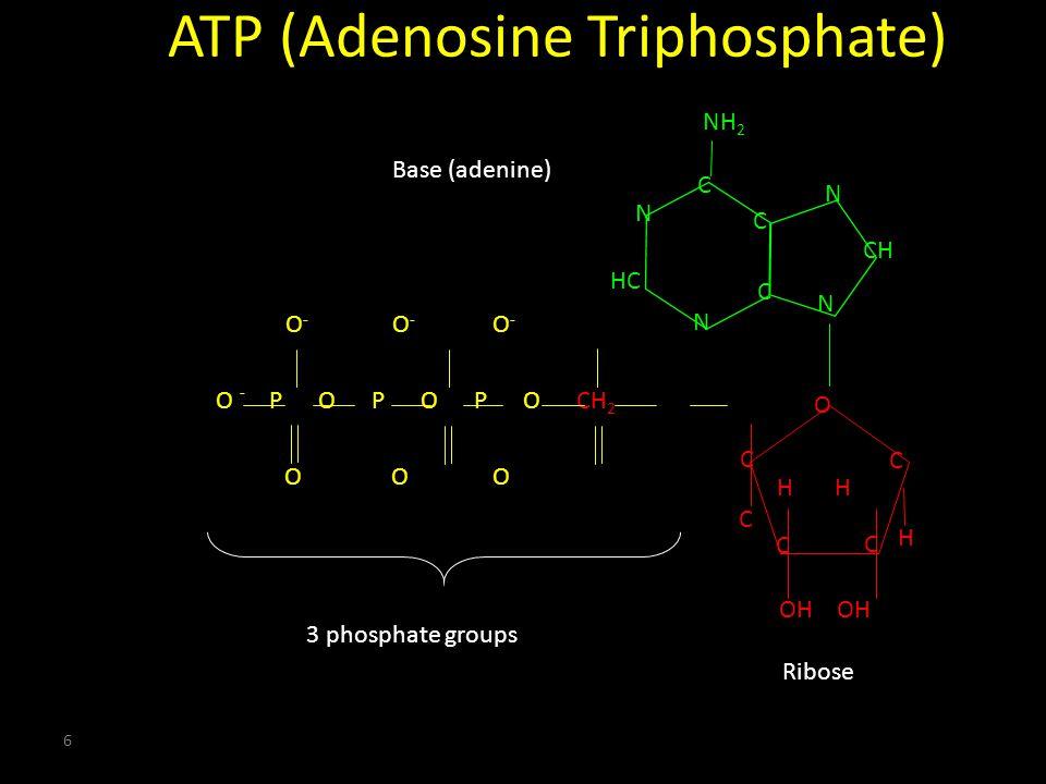 6 CH N C C C NH 2 N HC N N C C C C O C O P O P O P O CH 2 O O O O - O - O - - H OH H ATP (Adenosine Triphosphate) 3 phosphate groups Base (adenine) Ribose